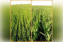 Condicion del arroz