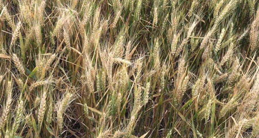 El trigo absorbe mas