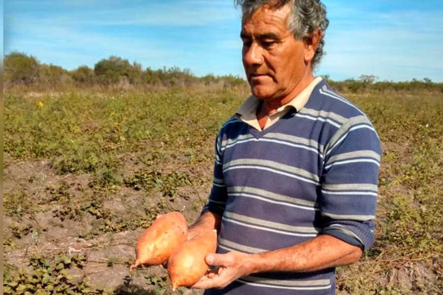 Cultivo de batatas