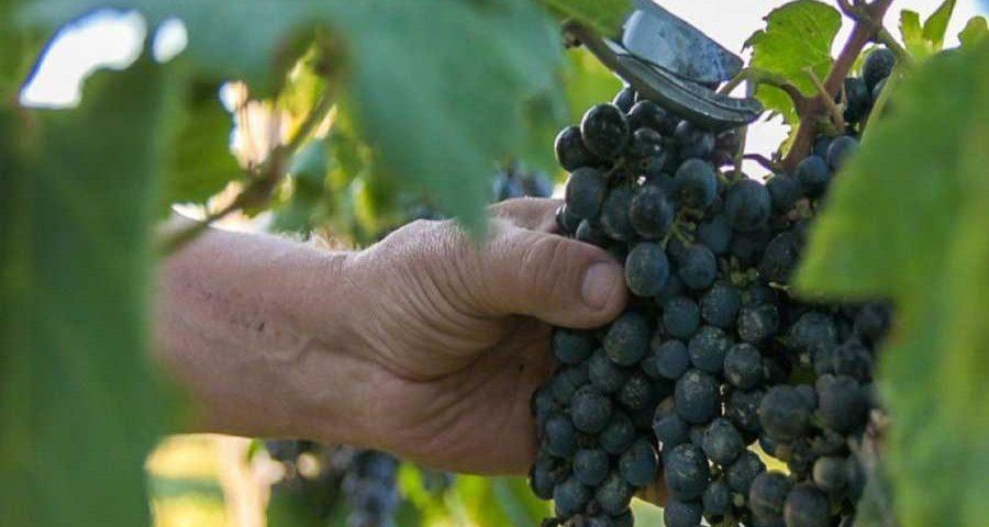 Uvas-vino